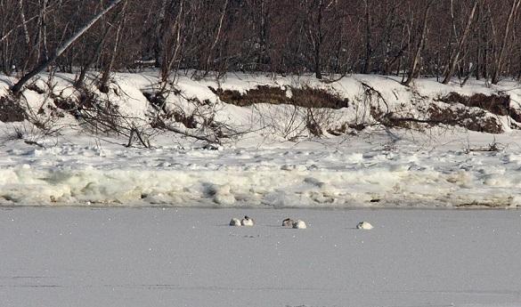 На Дніпрі під Каневом зимує кілька сімей лебедів (ФОТО)