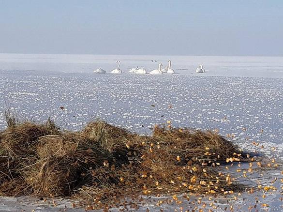 На Черкащині рятували лебедів, які примерзли до криги (ФОТО)