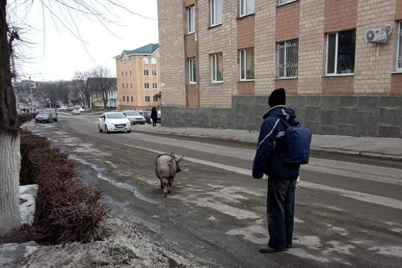 Свиню-втікачку ловили у центрі Тального