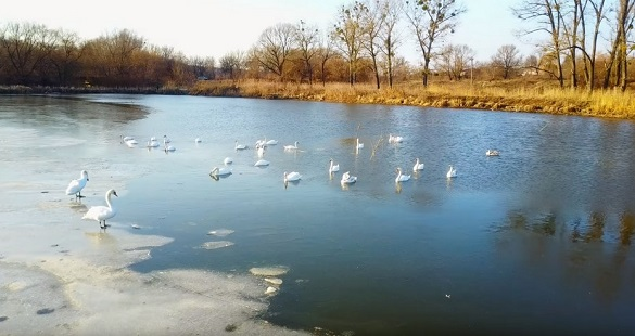 Весна близько: на уманський ставок прилетіла зграя лебедів (ВІДЕО)