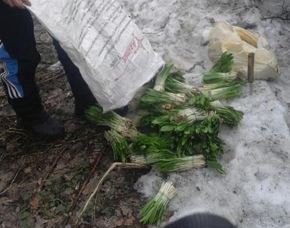 На Черкащині браконьєри нарвали первоцвітів більш ніж на 160 тисяч гривень