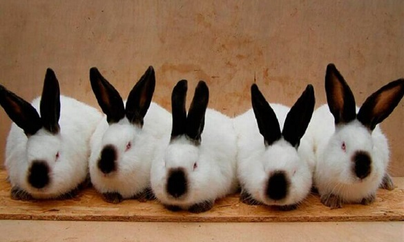 На Черкащині діє найбільша кроляча ферма у Східній Європі