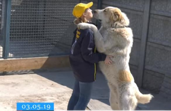 У Черкасах подружжя виховує собак-велетнів (ВІДЕО)