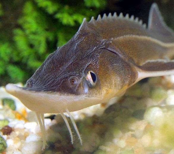На Черкащині розводитимуть червонокнижну рибу