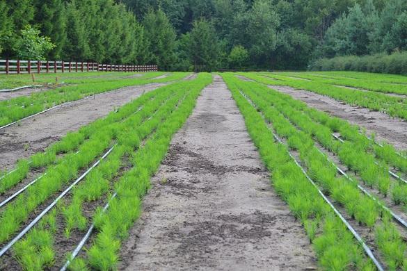 На Черкащині почали вирощувати посухостійкі дерева