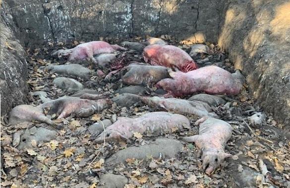 На Черкащині безвідповідальні господарники вивозили трупи свиней у полезахисну смугу