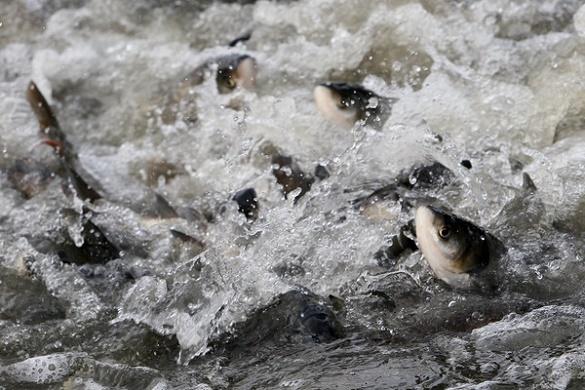 У Черкасах зарибили річку Дніпро (ВІДЕО)