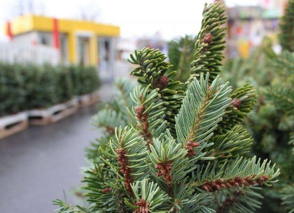 У Черкасах збирають новорічні ялинок для зоопарку (ГРАФІК)