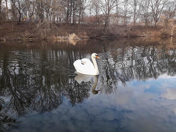 На Черкащину вже прилетіли лебеді (ФОТО)