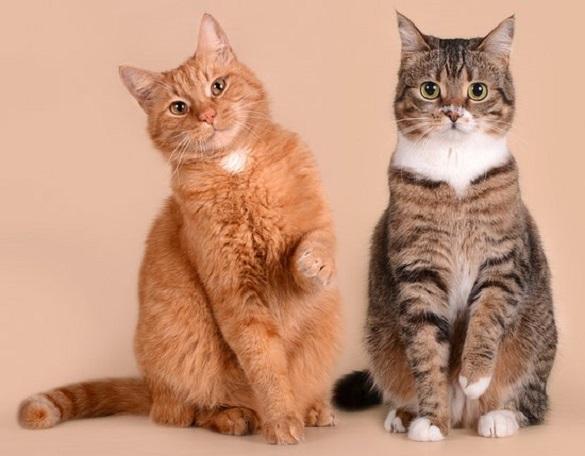 Солодка парочка: історія двох колишніх безпритульних котів підкорила Черкаси (ВІДЕО)
