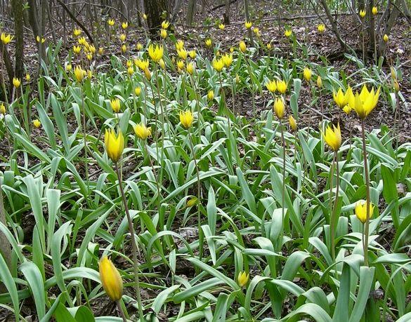 На Черкащині розквітли червонокнижні тюльпани (ФОТО)