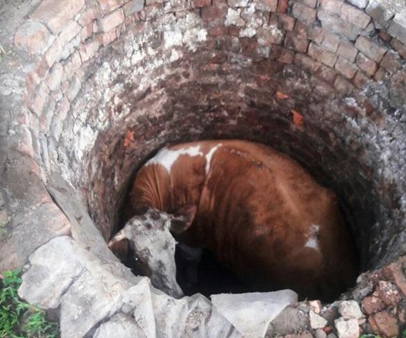 З ями на Черкащині рятували корову (ФОТО)