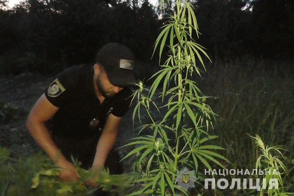 Черкащанин на огороді вирощував коноплю (ФОТО)