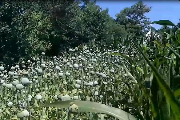 Черкащанка на огороді вирощувала плантацію рослин маку (ФОТО)
